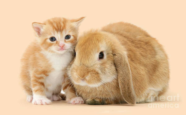 Photograph - Ginger Kitten And Sandy Bunny by Warren Photographic