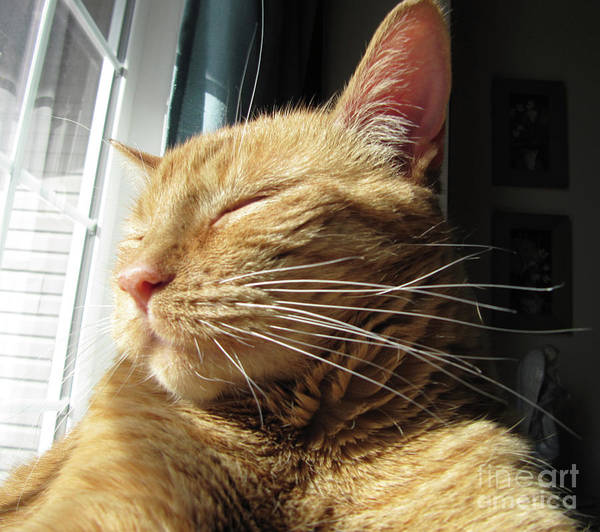 Photograph - Ginger Tabby by Donna L Munro