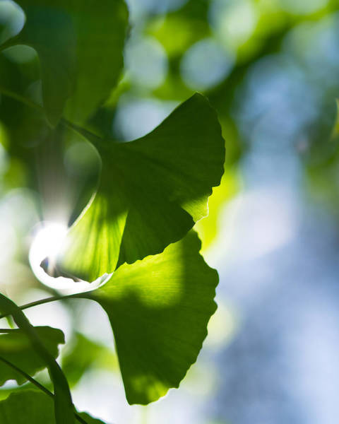 Photograph - Gingko Leaves In The Sun by Lori Coleman