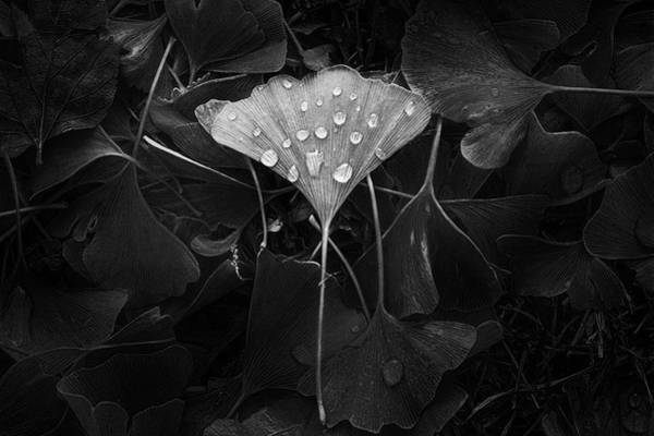 White Water Photograph - Ginkgo by Scott Norris