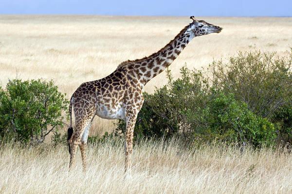 Photograph - Giraffe by Aivar Mikko