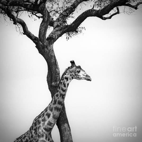 Giraffe Photograph - Giraffe And A Tree by Konstantin Kalishko