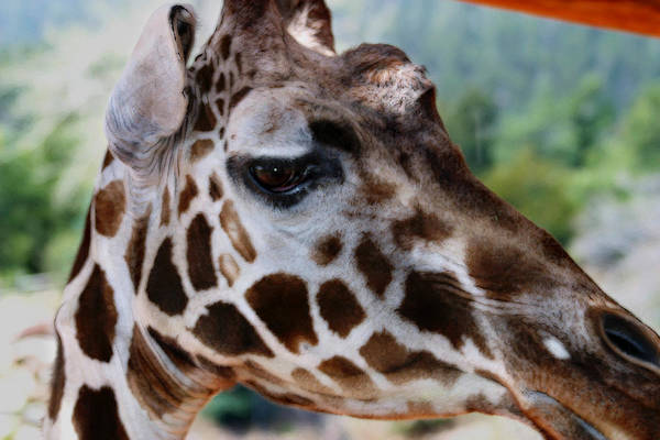 Digital Art - Giraffe by Anthony Jones