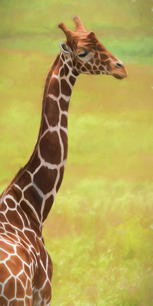 Graceful Photograph - Giraffe - Backward Glance by Tom Mc Nemar