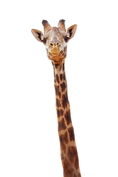 Long Neck Photograph - Giraffe Closeup Isolated - Happy Expression by Susan Schmitz