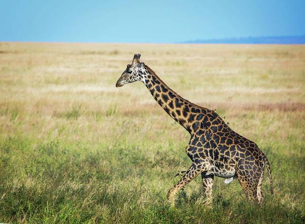 Colorful Giraffe Photograph - Giraffe Colors by Vicki Jauron