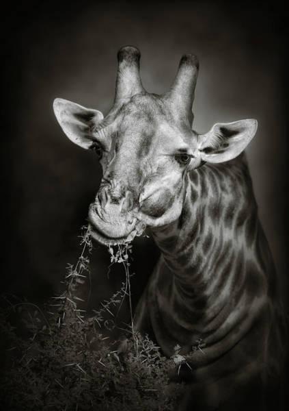 Wall Art - Photograph - Giraffe Eating by Johan Swanepoel