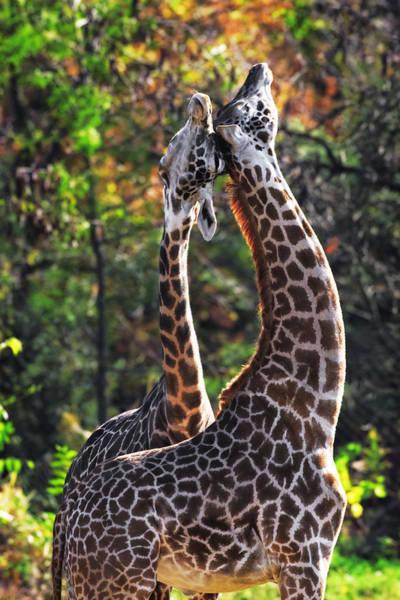 Photograph - Giraffe by Emmanuel Panagiotakis
