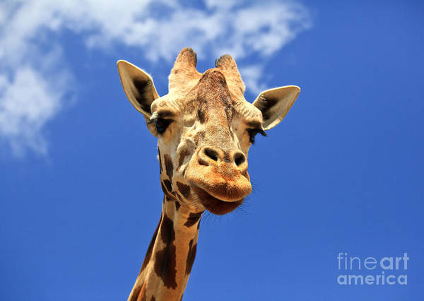 Photograph - Giraffe by Jill Lang