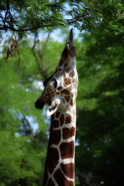 Wall Art - Photograph - Giraffe Just Out Of Reach by Thomas Woolworth