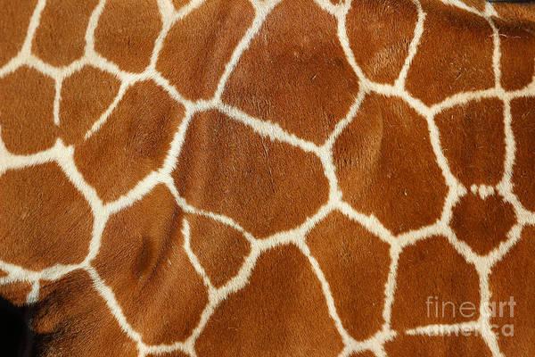 Photograph - Giraffe  by Karen Adams
