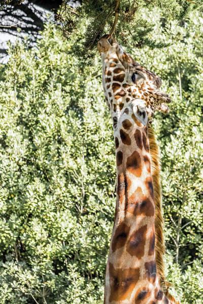 Photograph - Giraffe by Kate Brown