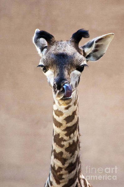 Photograph - Giraffe Lick by Lula Adams