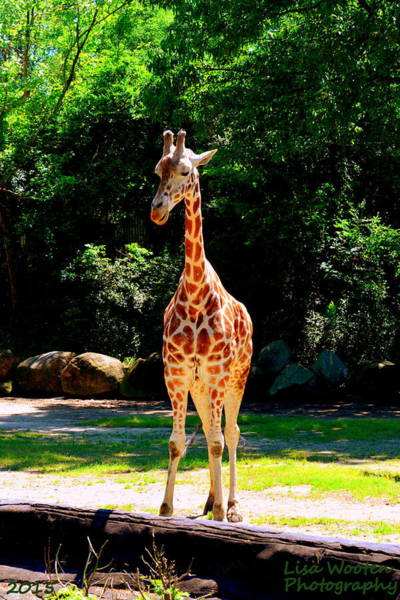 Photograph - Giraffe by Lisa Wooten