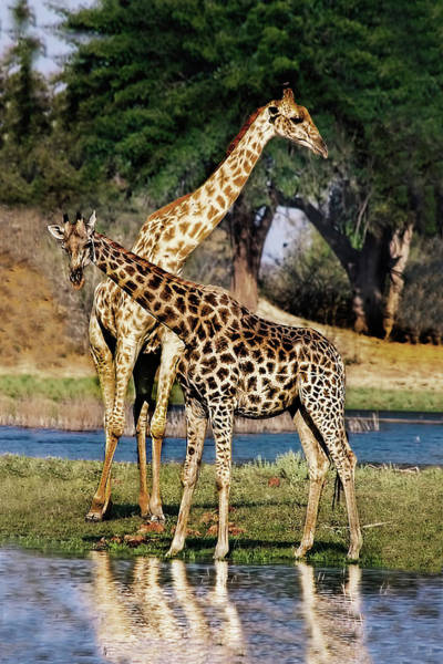 Photograph - Giraffe Mother And Calf by Kay Brewer