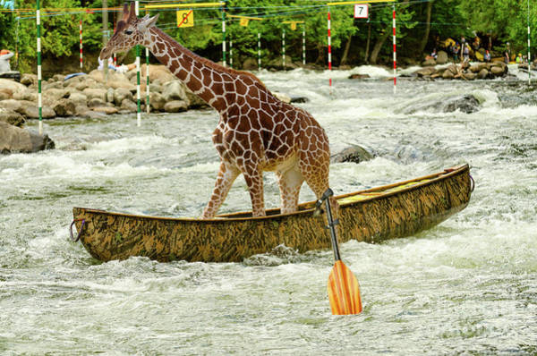 Photograph - Giraffe Paddling A Whitewater Canoe by Les Palenik