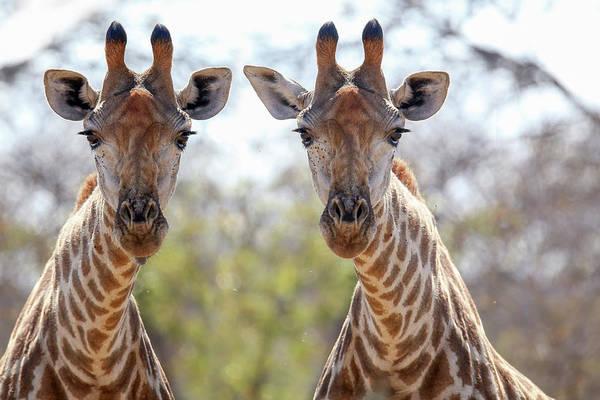 Wall Art - Photograph - Giraffe by Paul Fell