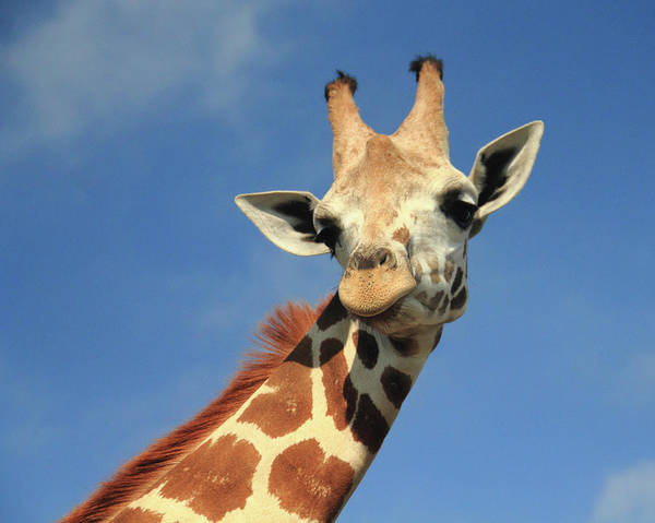 Photograph - Giraffe Portrait by Angela Murdock