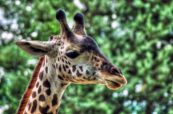 Photograph - Giraffe by Sam Davis Johnson