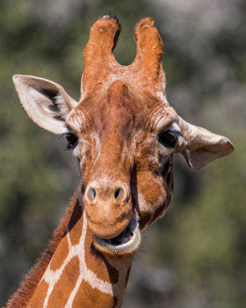 Photograph - Giraffe #1 by Patti Deters