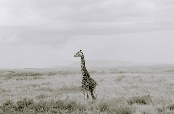 Photograph - Giraffe by Shaun Higson