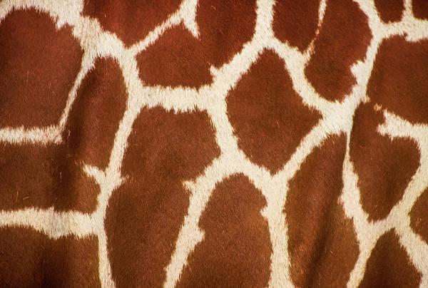 Long Neck Photograph - Giraffe Textures by Martin Newman