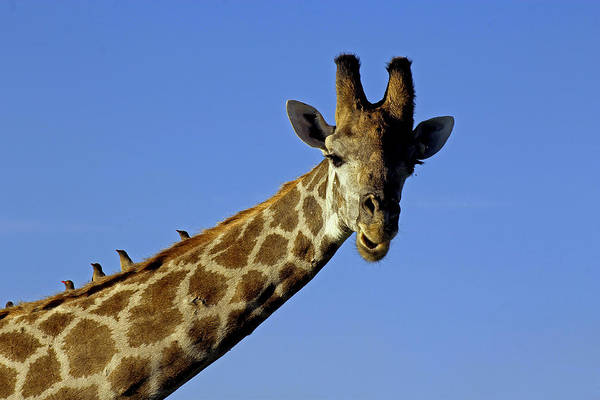 Photograph - Giraffe With Oxpeckers by Tony Murtagh
