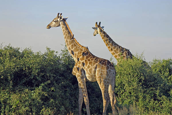 Photograph - Giraffes And Oxpeckers by Tony Murtagh