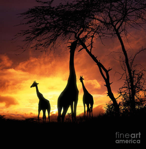 Photograph - Giraffes At Runrise by Warren Photographic