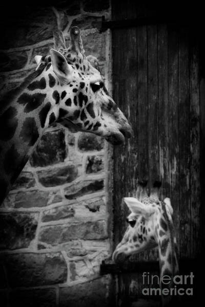 Photograph - Giraffe by Doc Braham