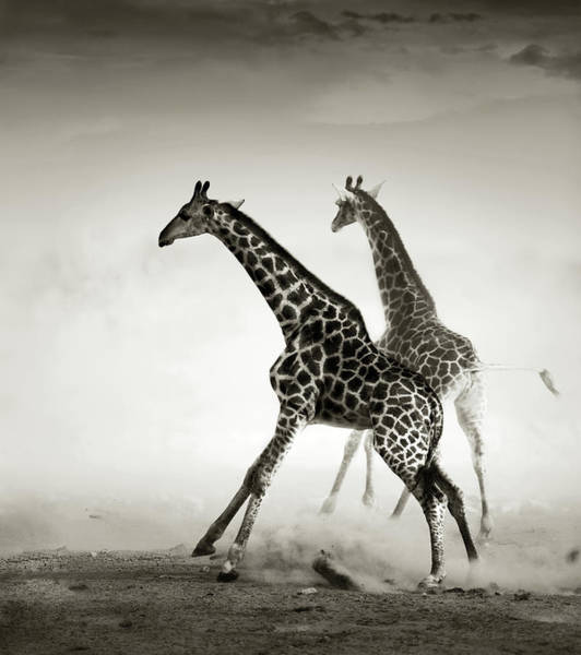 Dusty Photograph - Giraffes Fleeing by Johan Swanepoel
