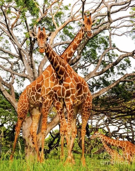 Wall Art - Photograph - Giraffe's Looking by D Davila