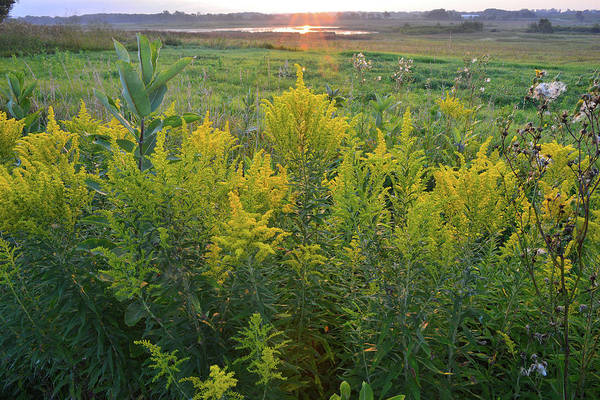 Photograph - Glacial Park Goldenrod At Sunrise by Ray Mathis