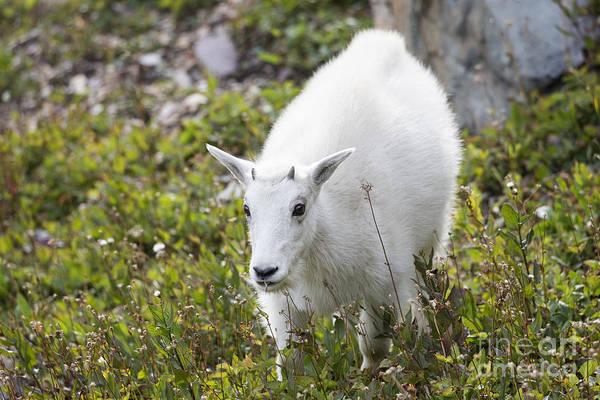 Photograph - Glacier - Baby Mountain Goat 1 by Jemmy Archer