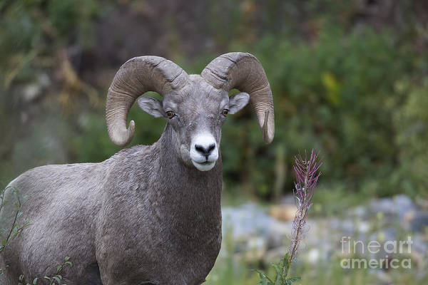 Photograph - Glacier - Bighorn And Fireweed by Jemmy Archer