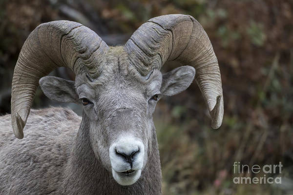 Photograph - Glacier - Bighorn Sheep Portrait by Jemmy Archer