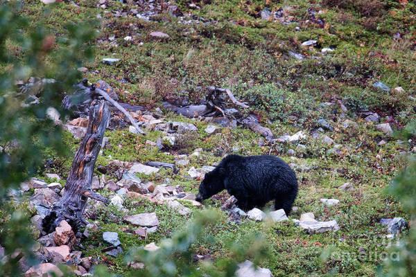 Photograph - Glacier - Black Bear 1 by Jemmy Archer