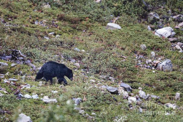Photograph - Glacier - Black Bear 2 by Jemmy Archer