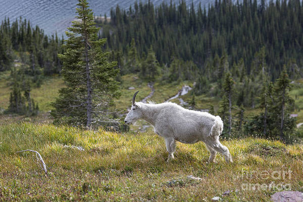 Photograph - Glacier - Granny Goat by Jemmy Archer