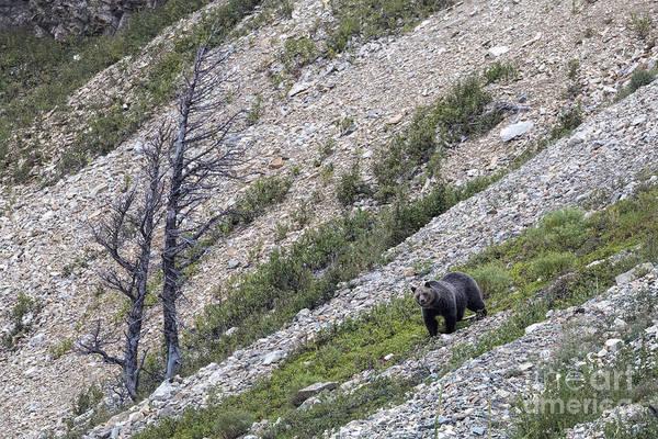 Photograph - Glacier - Grizzly On Gravel Slope by Jemmy Archer