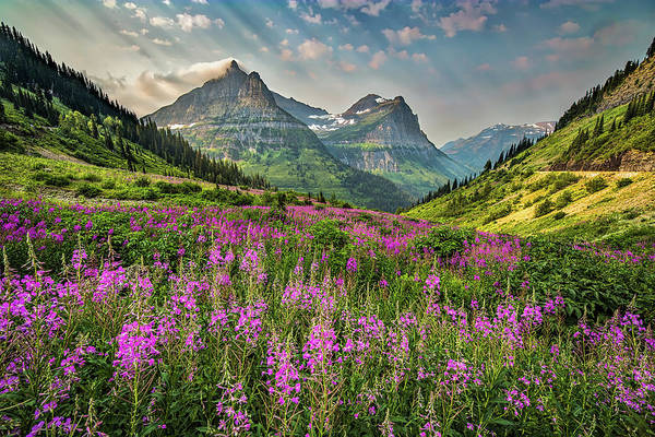 Fireweed Photograph - Glacier Meadow by Peter Tellone