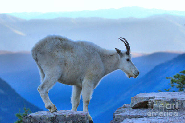 Photograph - Glacier Mountain Goat by Adam Jewell