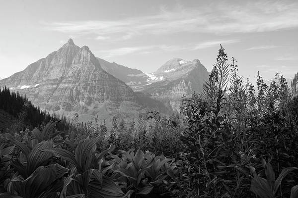 Photograph - Glacier National Park Fireweed Black And White  by Bruce Gourley