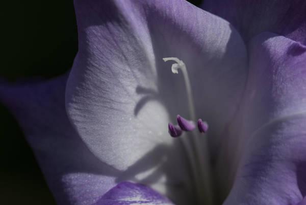 Photograph - Glad Lavender by Robert Potts