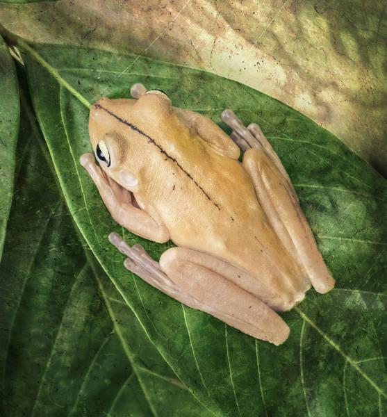 Photograph - Gladiator Tree Frog Costa Rica by Joan Carroll