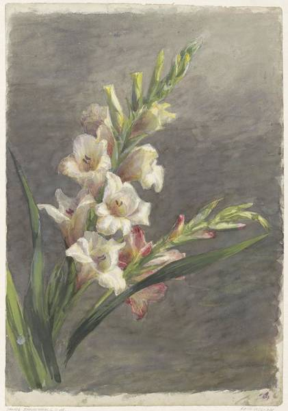 Gladiolus Painting - Gladiolus, , 1836 - 1895 by Celestial Images