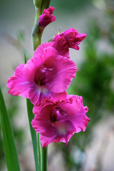 Photograph - Gladiolus Ole' by Robert Potts