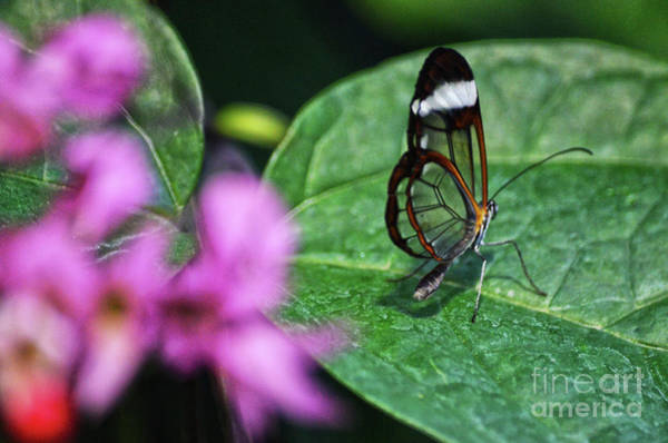 Photograph - Glass Wings by Spade Photo