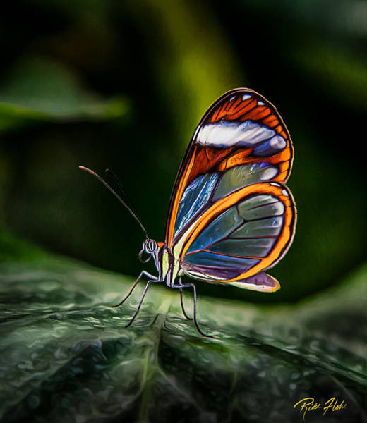 Photograph - Glasswing Butterfly Iridescence  by Rikk Flohr