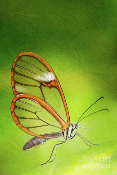 Wall Art - Photograph - Glasswing Butterfly by Todd Bielby